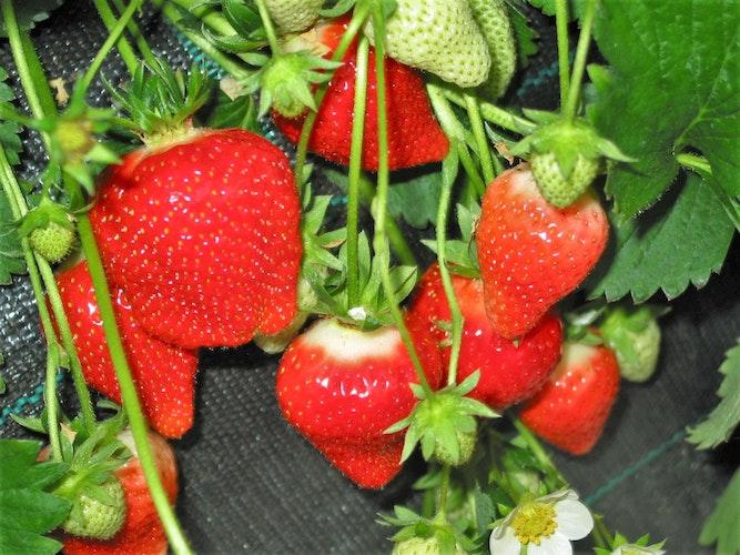 em  Als eine der ersten Sorten werden Erdbeeren der Frühsorte ,Clery in ungeheizten Folientunneln geerntet. Foto: NordmannLandwirtschaftskammerem