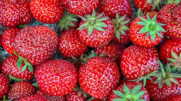 Erdbeer-Saison startet mit Ware aus geschütztem Anbau