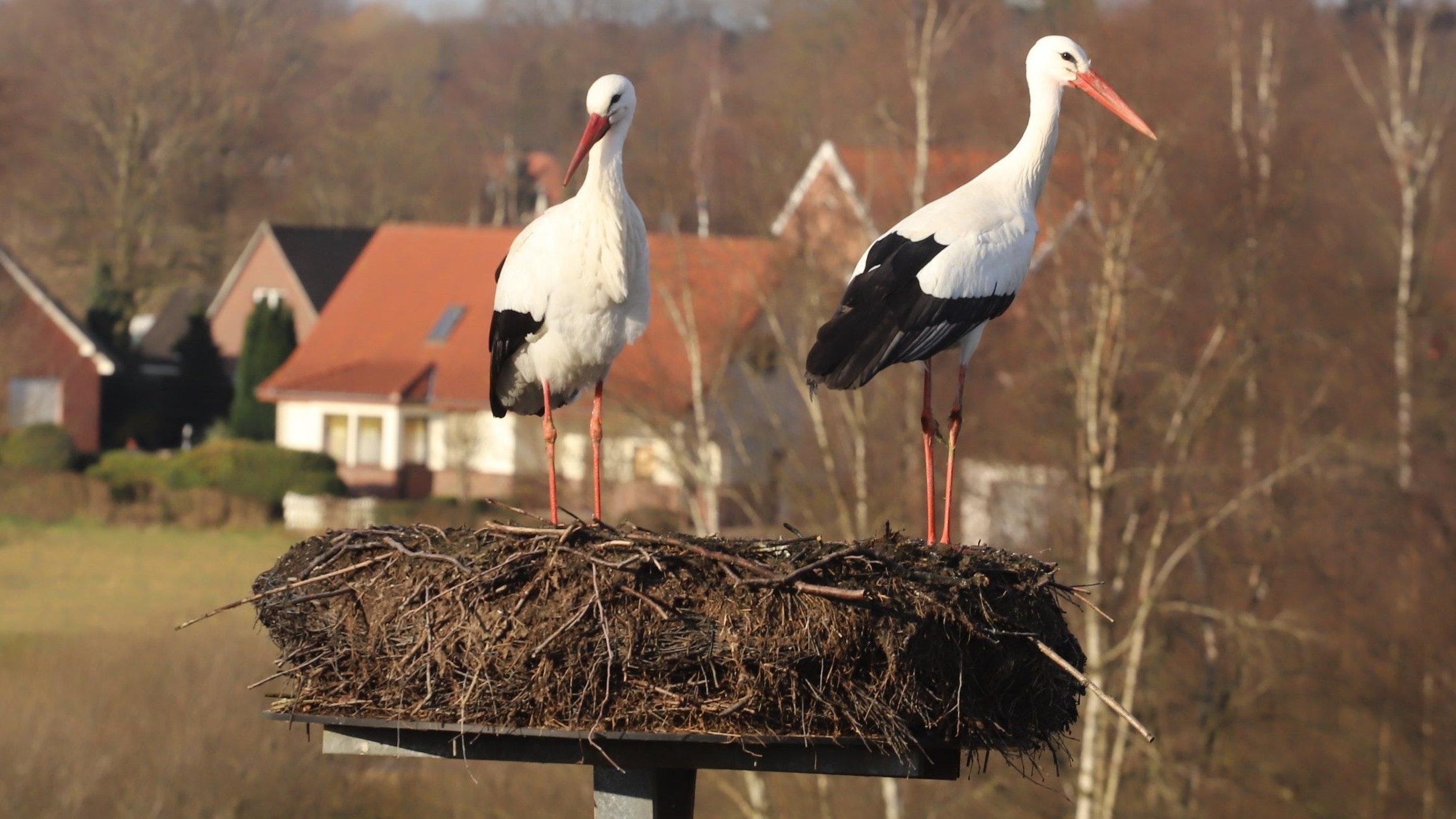 Natur: Die Altstörche könnten aus Nahrungsmangel ihren Nachwuchs verspeist haben. Foto: C. Passmann