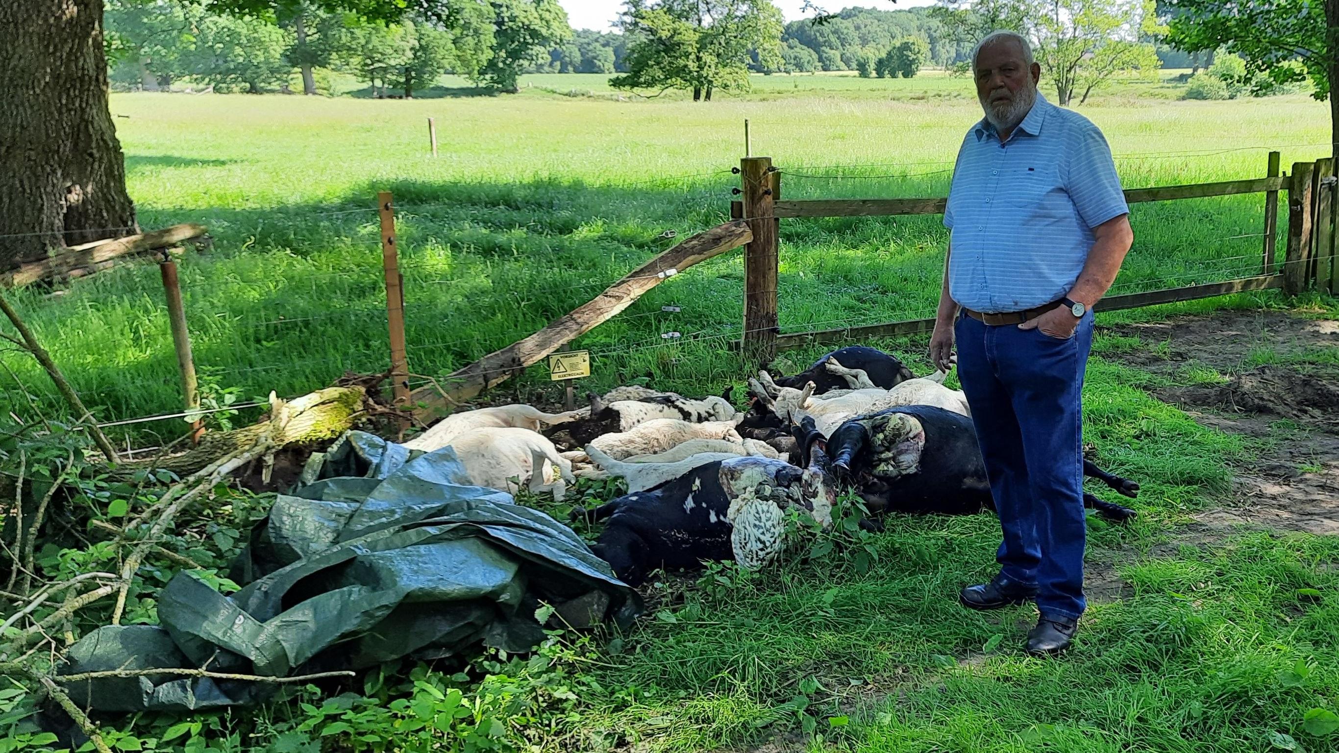 17 tote Schafe hat Franz Stammermann zu beklagen. Drei Lämmer werden noch vermisst. Fotos: Stix