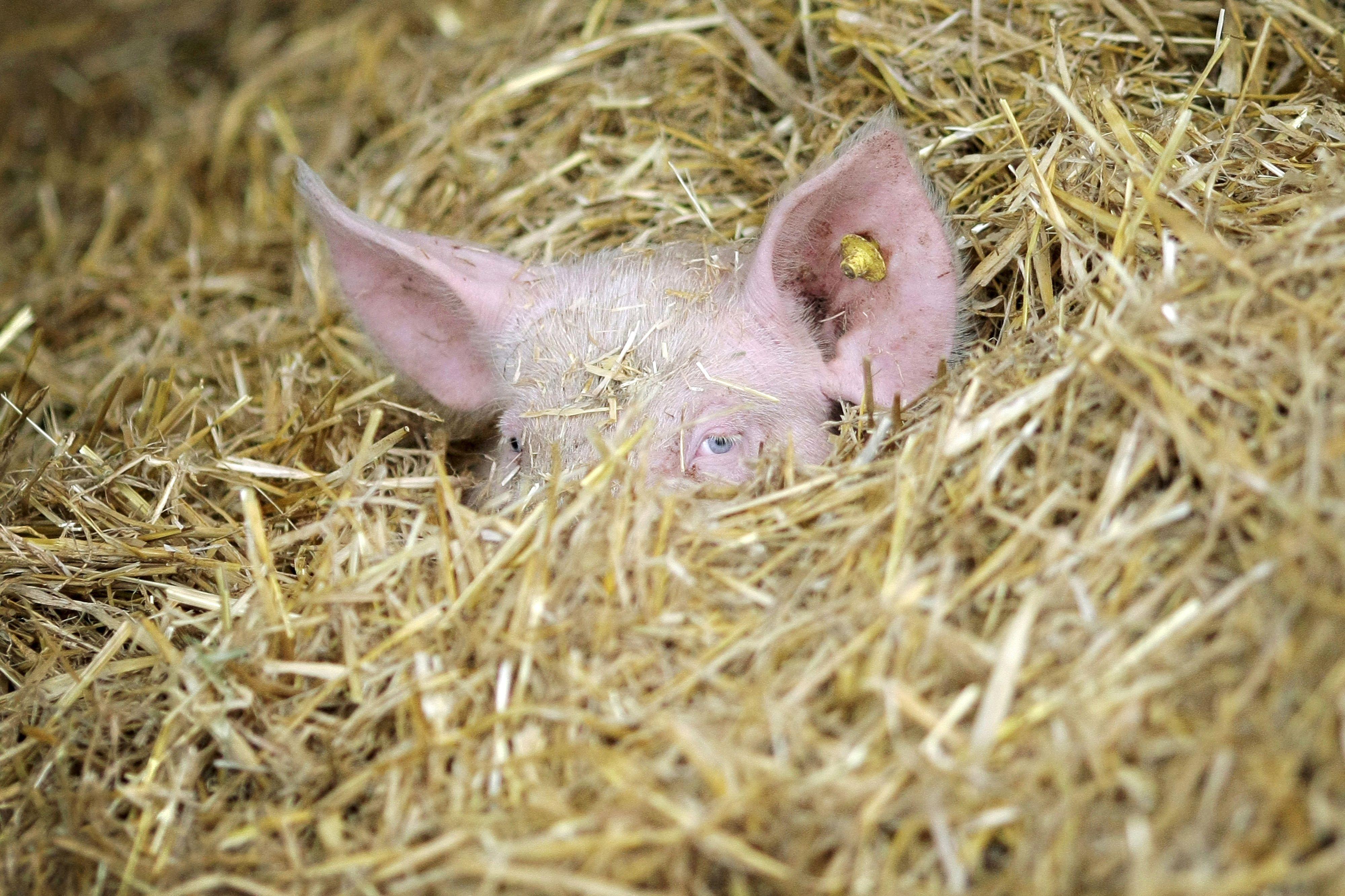 Stroh und viel Platz: Schwein in der Biohaltung. Foto: dpa/von Erichsen