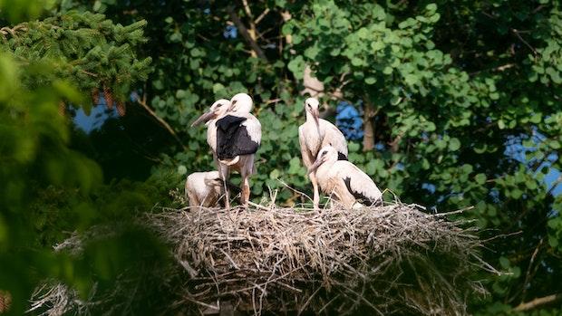 Vechtaer Storchenpaar zieht 5 Jungtiere groß