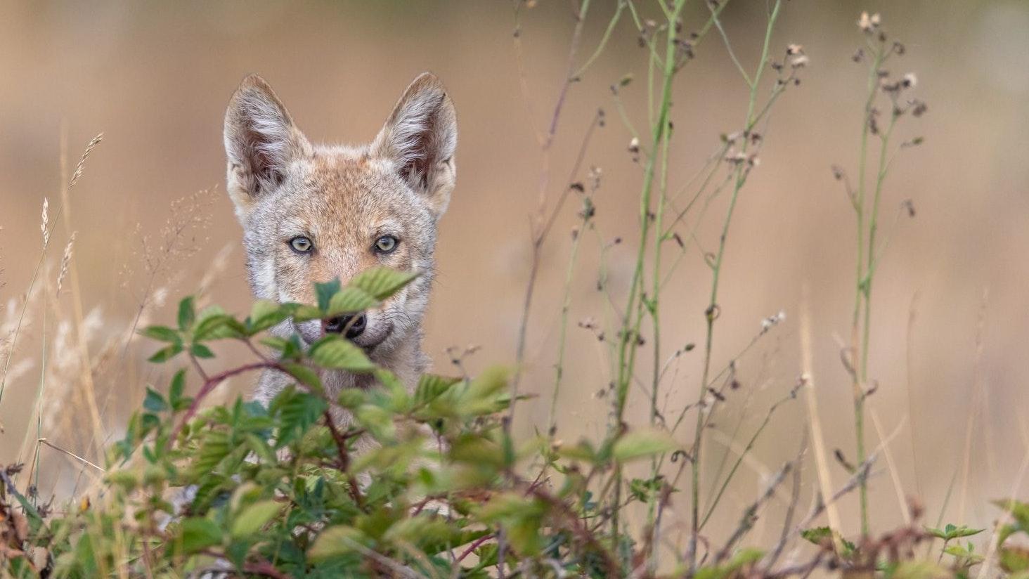 Große Neugier: Ein Wolfswelpe nähert sich dem Tarnzelt von Jürgen Borris. Foto: Jürgen Borris