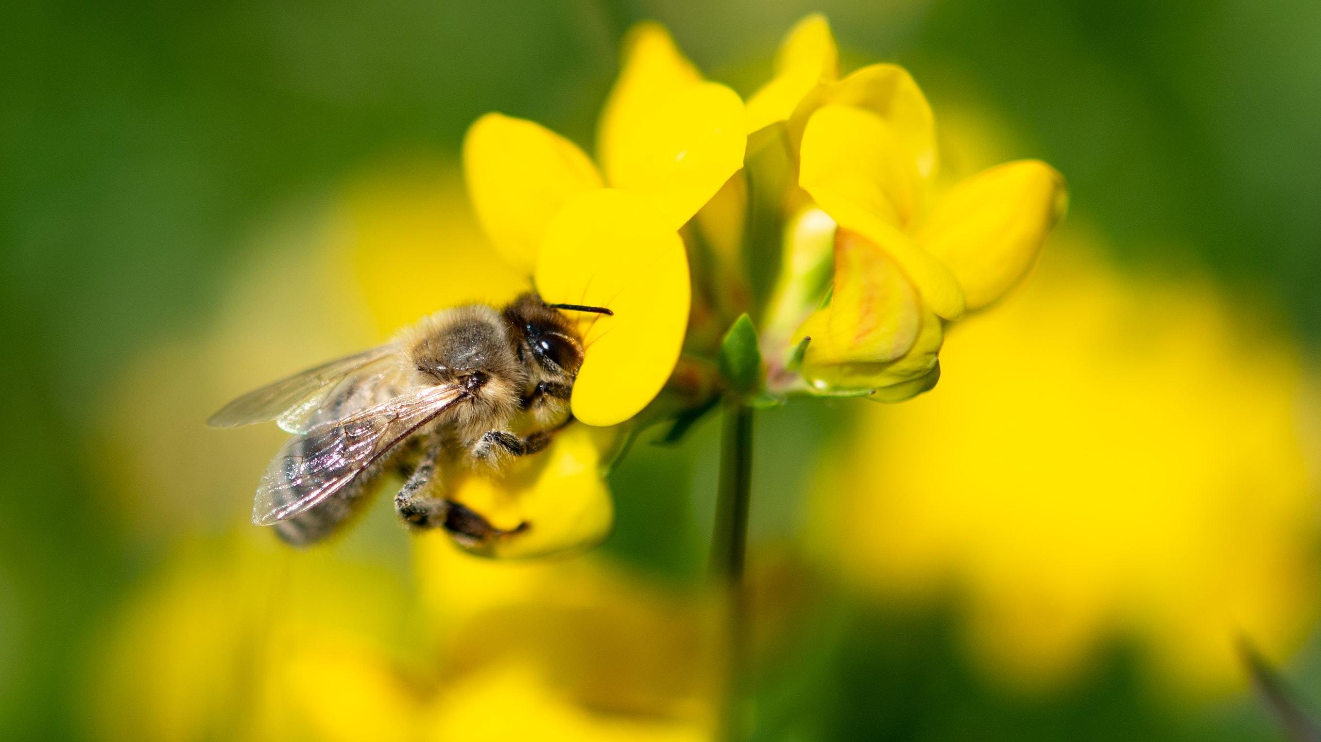 Mehr Lebenschancen: Bienen erfüllen in der Natur die wichtige Aufgabe der Bestäubung von Pflanzen. Auch sie sollen durch den Niedersächsischen Weg besser geschützt werden. Symbolfoto: dpa/Sommer