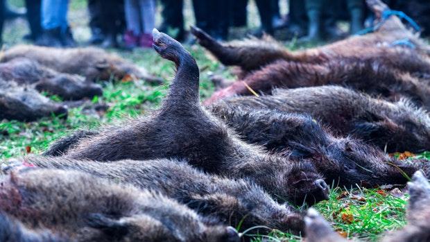 Landvolk bittet wegen Schweinepest Urlauber um Vorsicht