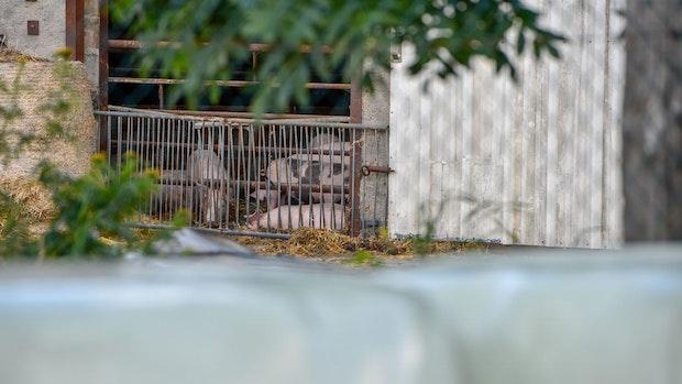 Die Afrikanische Schweinepest breitet sich in Brandenburg aus
