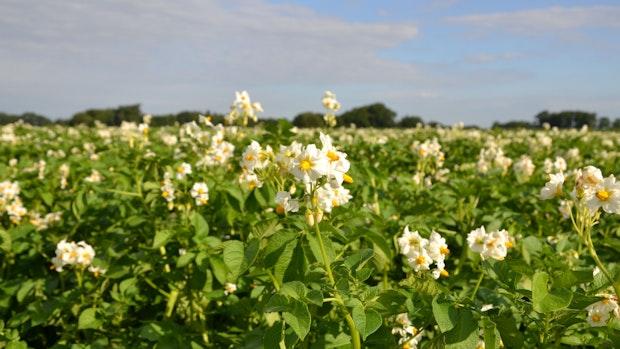 Kartoffelanbau: Wasserversorgung entscheidet über die Zukunft