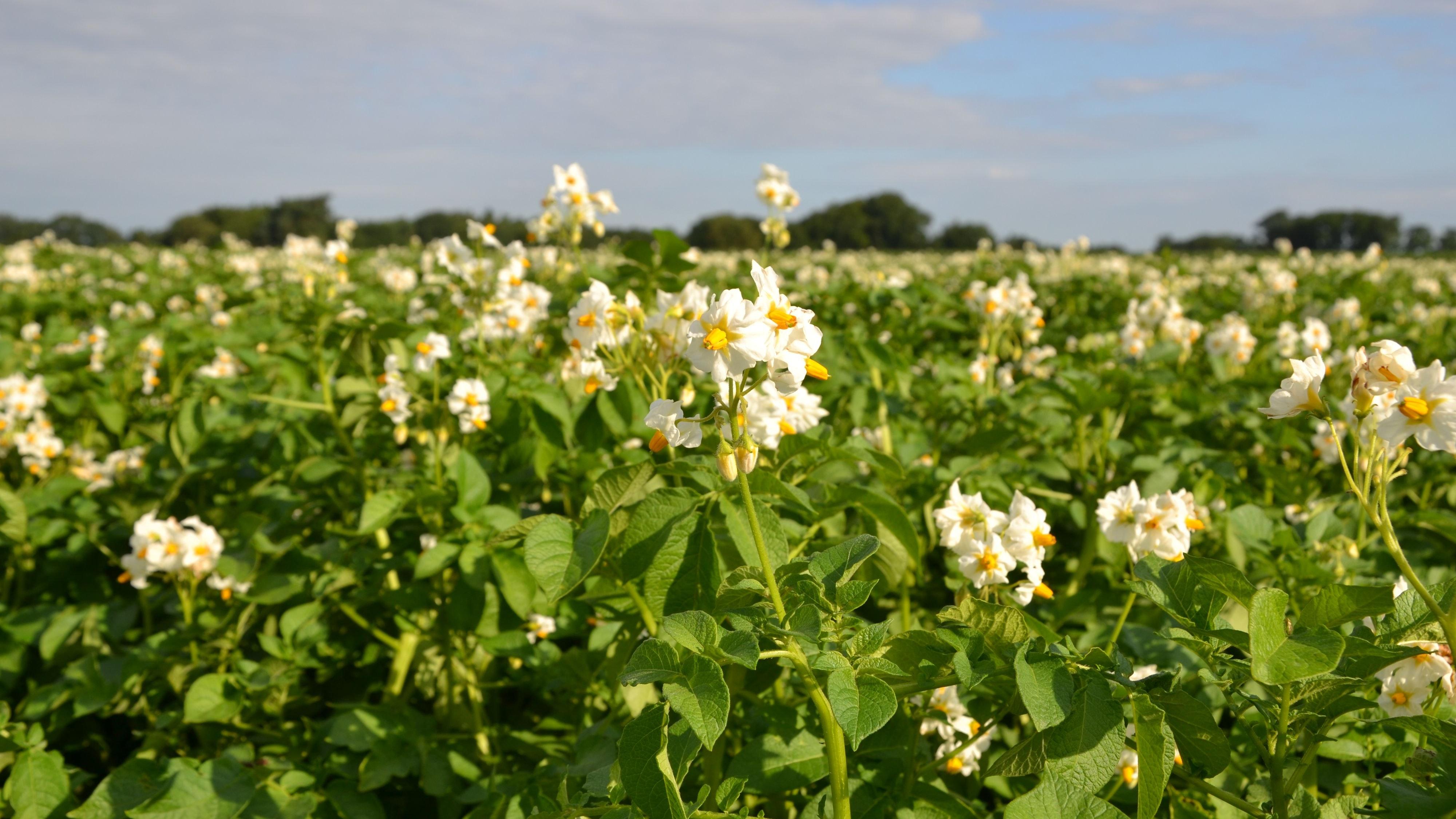 In der Blüte: Im Raum Löningen/Emsland haben sich viele Landwirte auf den Kartoffelanbau spezialisiert. Foto: G. Meyer